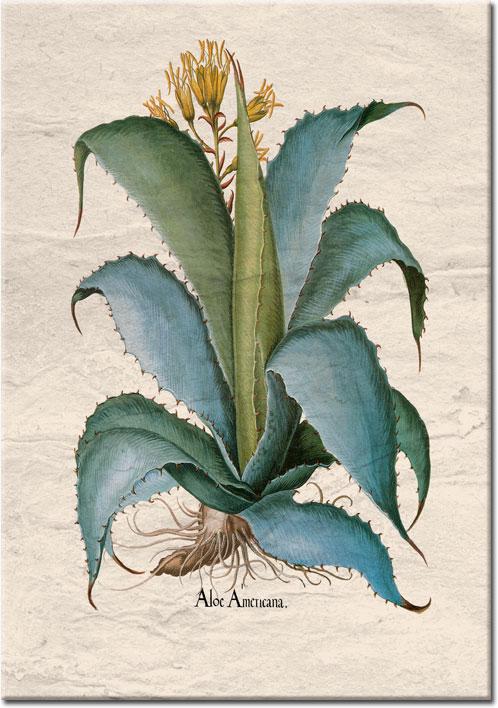 plakaty z agawą