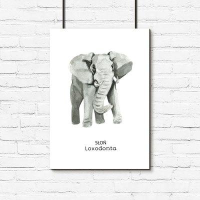 Plakat słoń i łacińska nazwa