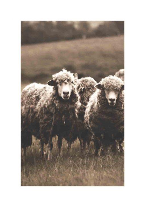 owce na skandynawskim plakacie