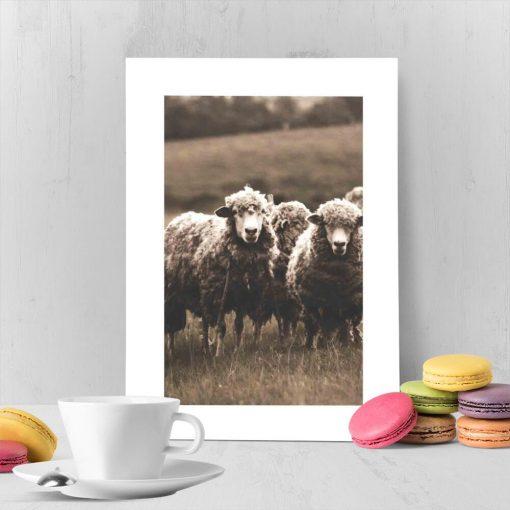 plakat z białym obramowaniem i owce