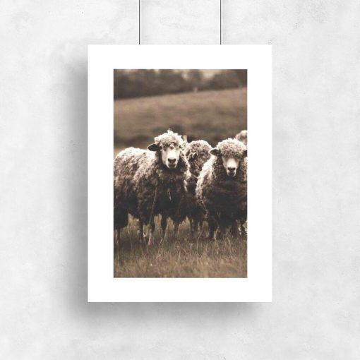 owce na plakacie