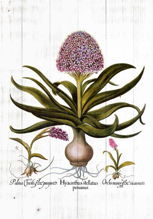 Botaniczny plakat z hiacyntem do kuchni
