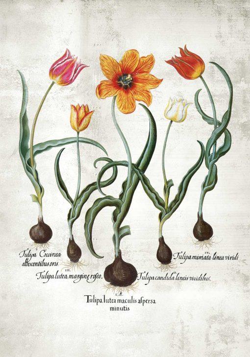Botaniczny plakat - Ogniste tulipany na przedpokój