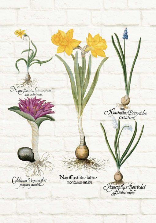Botaniczny plakat z niebieskim szafirkiem do jadalni