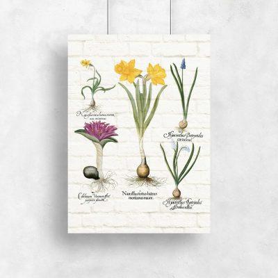 Botaniczny plakat z niebieskim szafirkiem na przedpokój