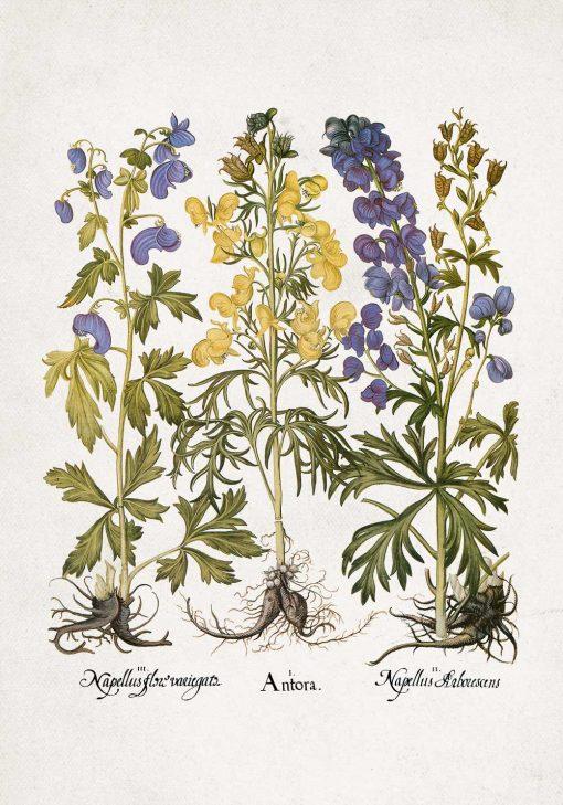 Edukacyjny plakat botaniczny - Tojad do jadalni