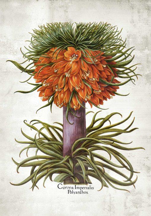 Kwiat cesarskiej korony - Plakat na przedpokój