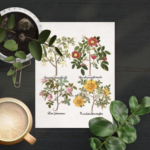 Plakat cztery odmiany róż drobnolistnych