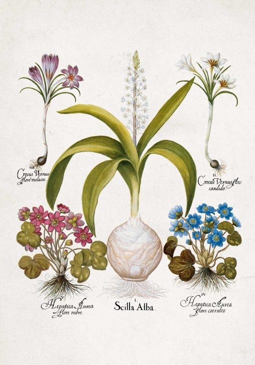 Plakat dla florysty - Cebulica biała do jadalni