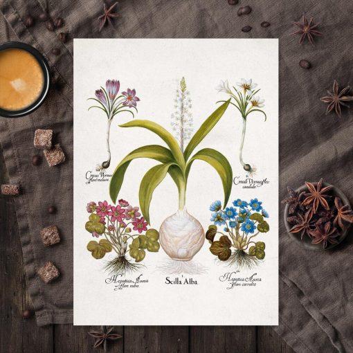 Plakat dla florysty - Cebulica biała do kuchni
