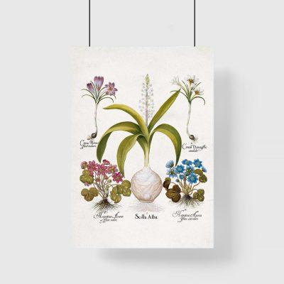 Plakat dla florysty - Cebulica biała do przedpokoju