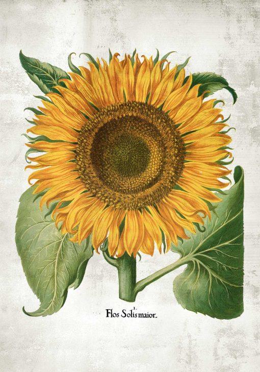 Plakat roślina słońca do ozdoby szkoły