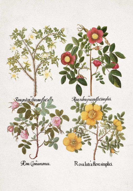 Plakat rycina z odmianami róż