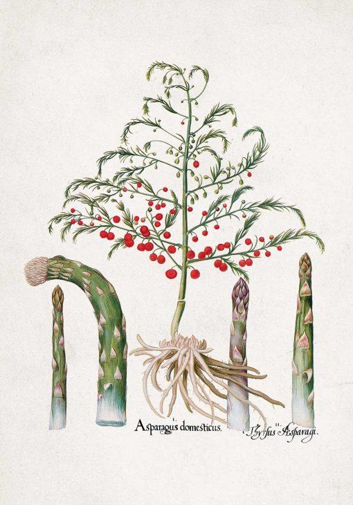 Plakat z asparagusem
