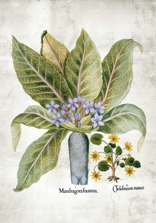 Plakat z korzeniem mandragory