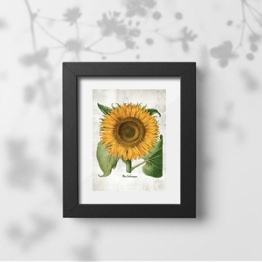 Plakat z kwiatem słonecznika i nazwą łacińską