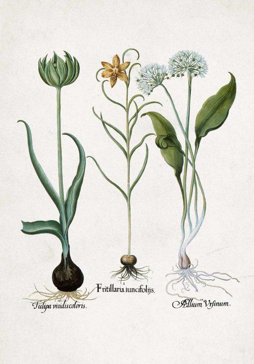 Plakat z kwiatem szachownicy cesarskiej do kuchni