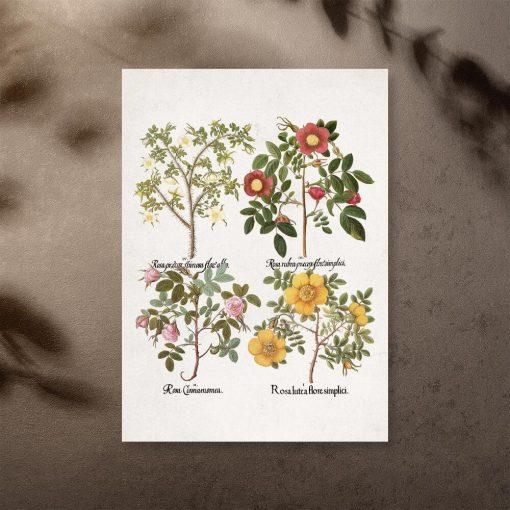 Plakat z nazwami łacińskimi róż