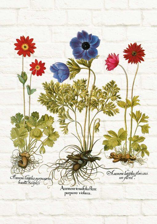 Plakat z odmianami anemonów i ich nazwami
