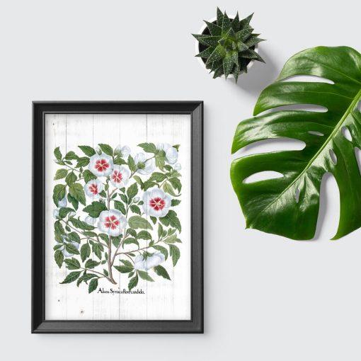 Plakat z rośliną z rodziny ślazowatych