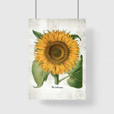 Plakat ze słonecznikiem i łacińską nazwą