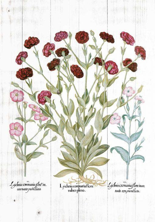Plakat botaniczny - Firletka kwiecista do kuchni