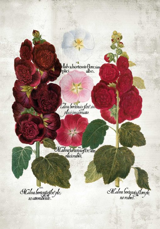 Plakat gatunki malw i łacińskie nazwy - edukacja