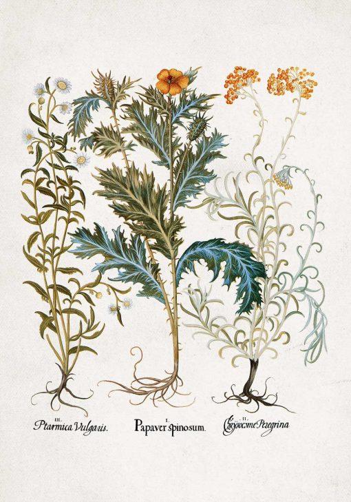 Plakat rośliny z polskich łąk