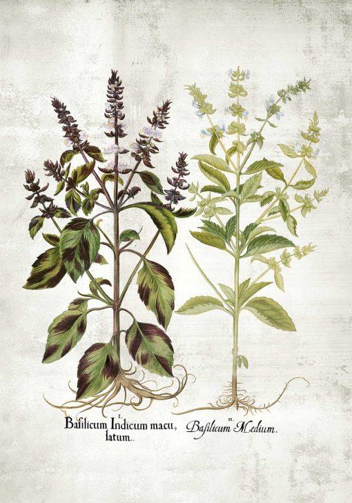 Plakat z bazylią i jej kwiatami