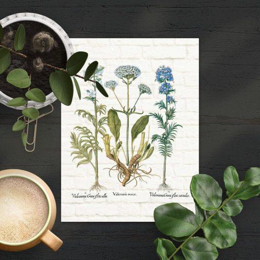Plakat z motywem rośliny leczniczej