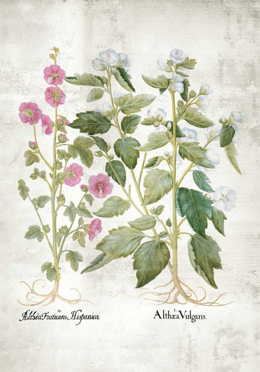 Plakat z motywem różowej i białej malwy do dekoracji klasy