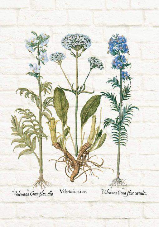 Plakat z zielem waleriany
